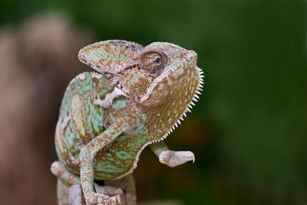 Selectieve aandacht van chameleon