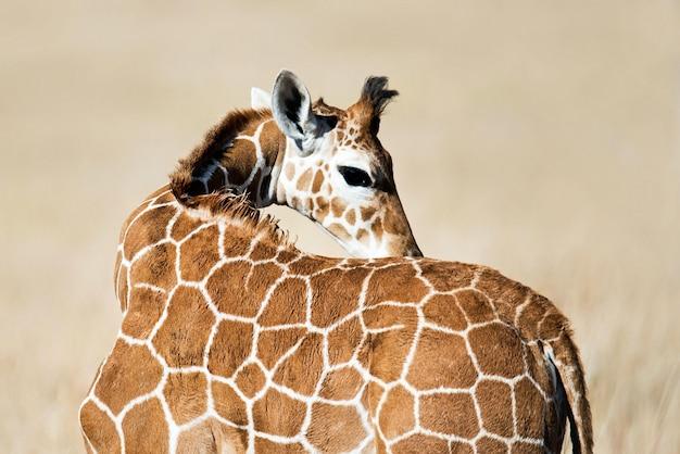 Selectieve aandacht van een mooie giraf onder het zonlicht