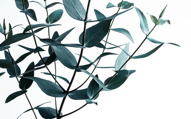Selectieve aandacht van eucalyptusbladeren op wit