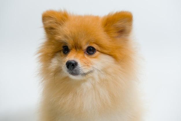 Selectieve aandacht van kleine rassen pommeren hond is iets op een witte achtergrond opzoeken. emotionele ondersteuning dier concept.