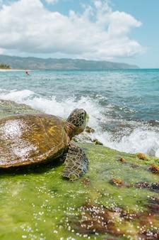 Selectieve close-up die van een bruine vreedzame ridleyzeeschildpad dichtbij het overzees op een zonnige dag is ontsproten