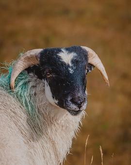 Selectieve close-up die van een witte en zwarte geit in het weiland is ontsproten