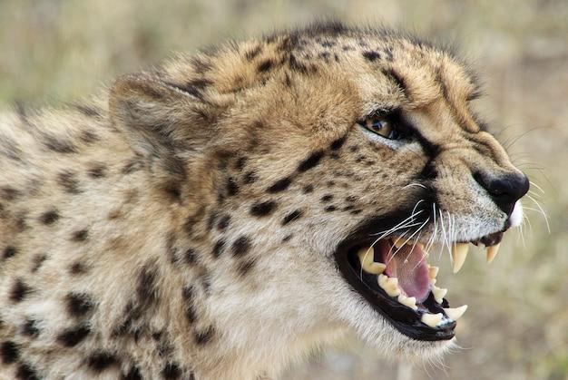 Selectieve close-up shot van een cheetah met open mond