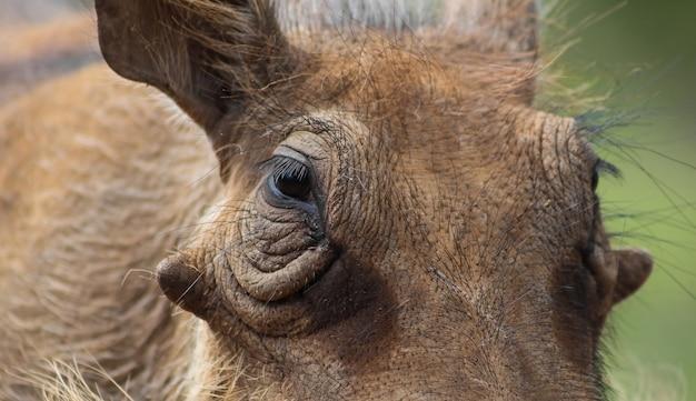 Selectieve close-up van het gezicht van een gemeenschappelijk wrattenzwijn