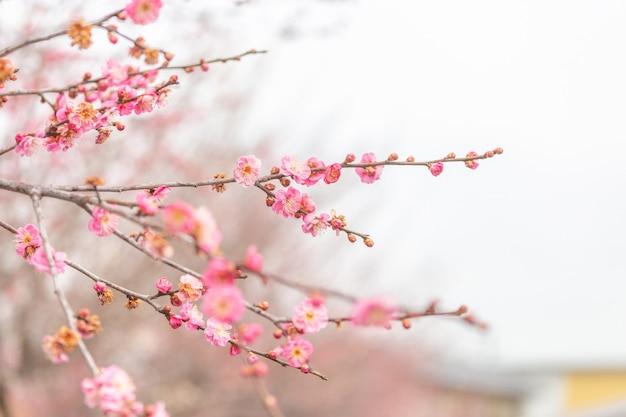 Selectieve de bloesemsakura van de nadruk roze kers in de wintertijd van japan