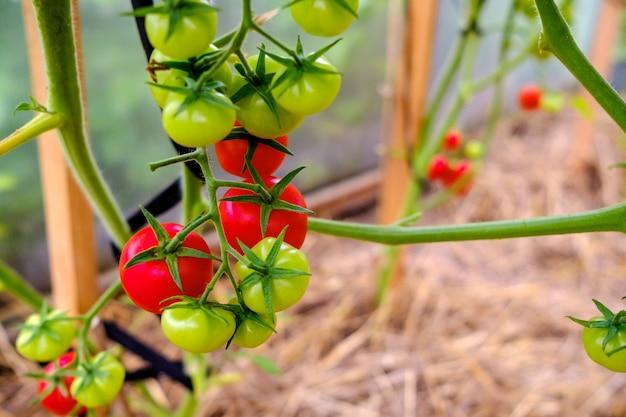 Selectieve focus op rijpe rode tomaten op de takken in de kas.