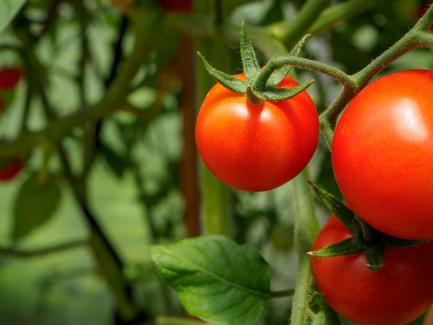 Selectieve focus op rijpe rode tomaten op de takken in de kas
