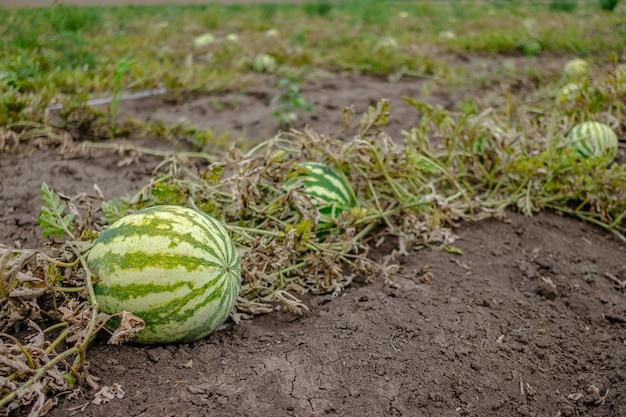 Selectieve focus op ronde gestreepte groene watermeloen op de veldkopieerruimte