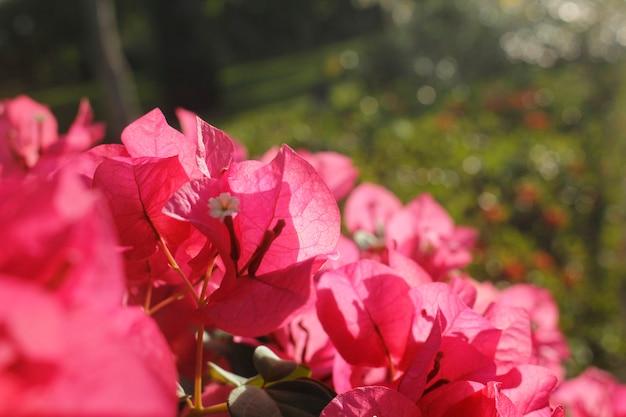 Selectieve focus op roze bougainvillea bloemblaadjes.