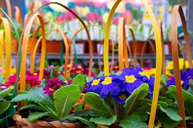 Selectieve focus op sleutelbloembloemen in decoratieve rieten cadeaumanden op een plank in een tuinwinkel. verkoop vóór de vakantie van internationale vrouwendag.