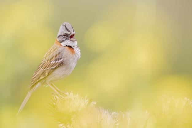 Selectieve focus shot van carduelis cannabina zingend in het voorjaar