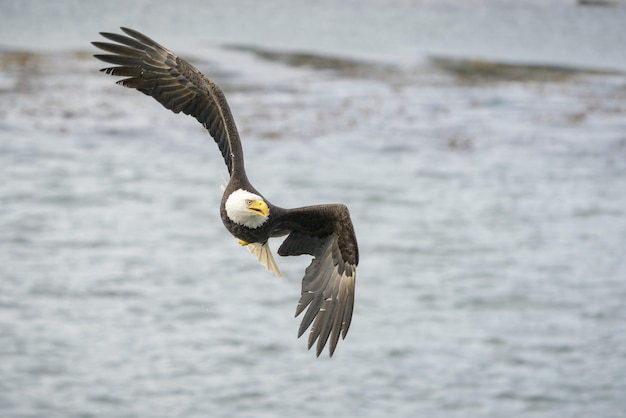 Selectieve focus shot van een adelaar die vrij over de oceaan vliegt op zoek naar een prooi