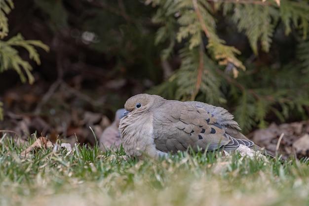 Selectieve focus shot van een duif op de grond met een onscherpe achtergrond