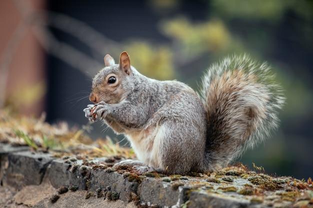 Selectieve focus shot van een eekhoorn in de tuin