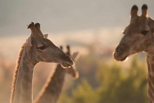 Selectieve focus shot van een giraffe in de buurt van andere giraffen in het midden van het bos