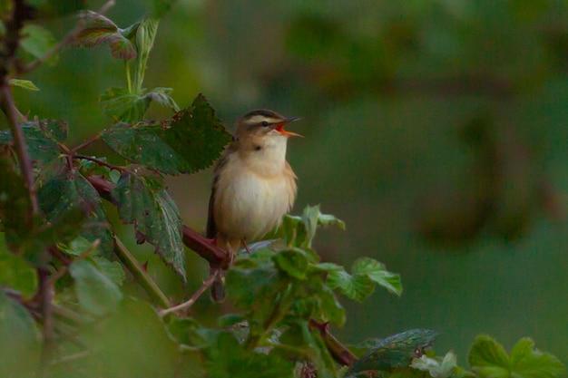 Selectieve focus shot van een grasmus zat op een boomtak