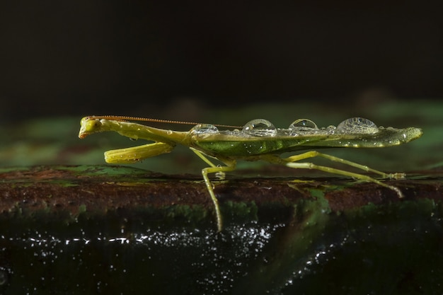 Selectieve focus shot van een groene net-gevleugelde insecten in een natuurlijke omgeving