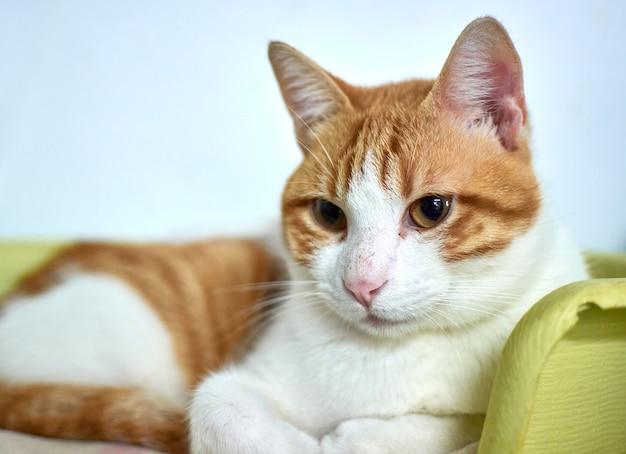 Selectieve focus shot van een huiskat ontspannen in zijn gezellige bed