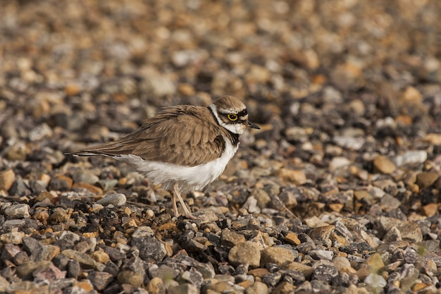 Selectieve focus shot van een kleine mooie vogel lopen op de met rotsen bedekte grond