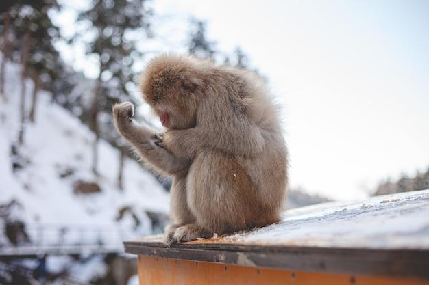 Selectieve focus shot van een makaak aap kijken naar zijn hand
