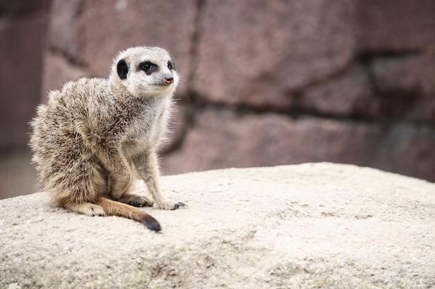 Selectieve focus shot van een meerkat op een rots terwijl u rondkijkt