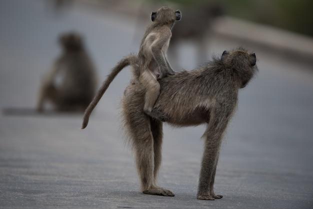 Selectieve focus shot van een moeder baviaan met haar baby rijden op haar rug