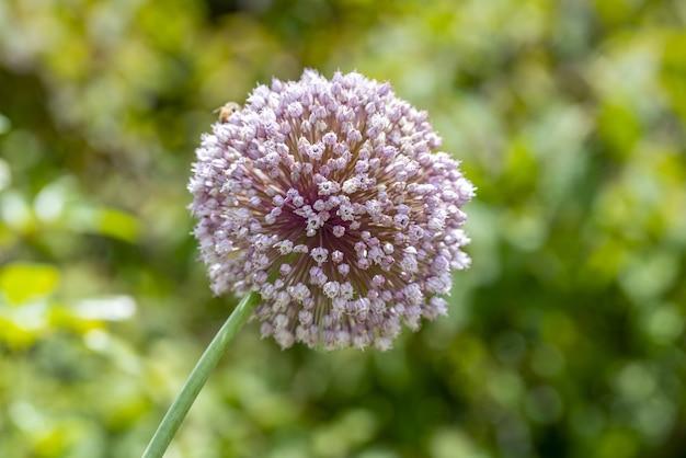 Selectieve focus shot van een mooie allium bloem met wazig