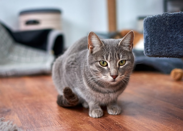 Selectieve focus shot van een mooie grijze kat met groene ogen rusten op de vloer