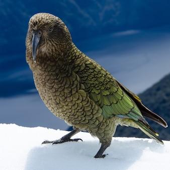 Selectieve focus shot van een nestor kea in nieuw-zeeland