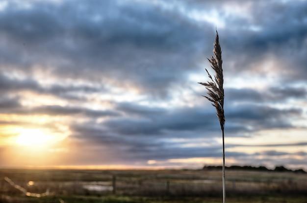 Selectieve focus shot van een riet gras met een landschap van zonsondergang