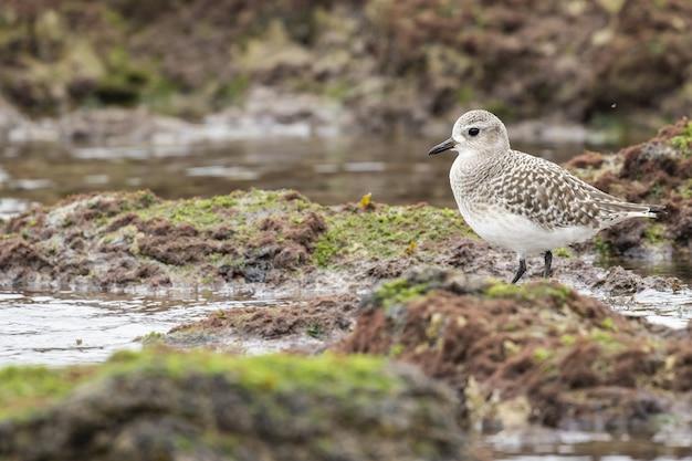 Selectieve focus shot van een sanderling staande op de met mos bedekte grond nabij het water