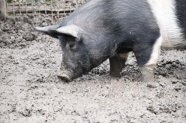 Selectieve focus shot van een varken dat zich in een modder bevindt