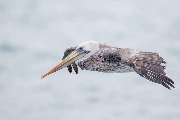 Selectieve focus shot van een vliegende pelikaan