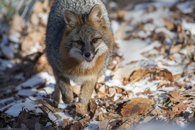 Selectieve focus shot van een vos die naar de camera loopt