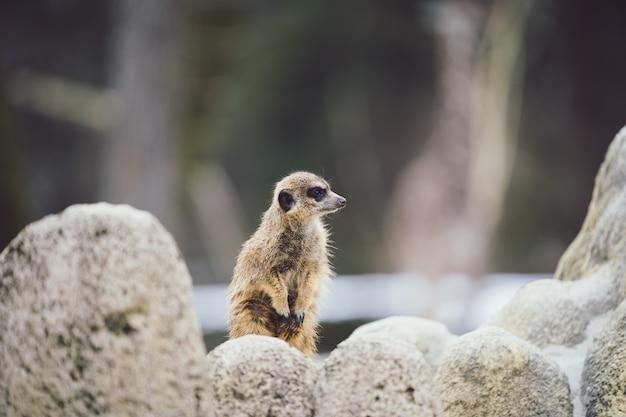Selectieve focus shot van een waakzame meerkat achter stenen