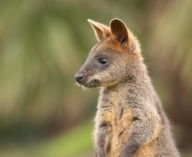 Selectieve focus shot van een wallaby