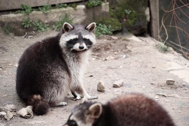 Selectieve focus shot van een wasbeer op zoek naar de camera