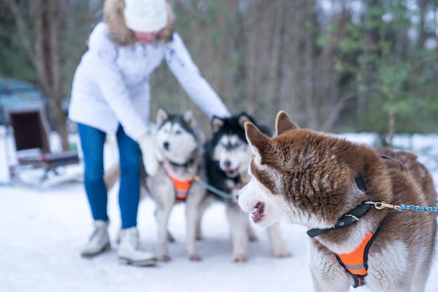 Selectieve focus shot van husky honden in het bos tijdens de winter