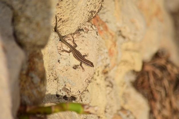 Selectieve focus shot van maltese muur lizard in maltese eilanden
