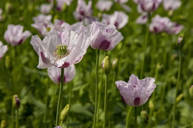 Selectieve focus shot van mooie roze papavers groeien in het veld in oxfordshire, uk