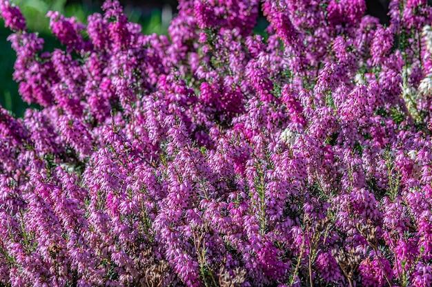 Selectieve focus shot van paarse heide bloemen op het veld overdag