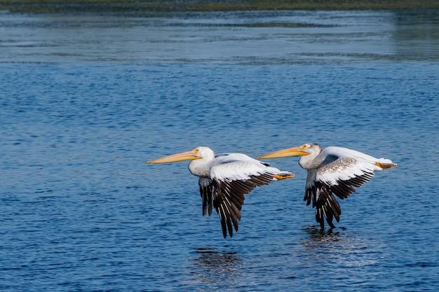 Selectieve focus shot van pelikanen vliegen over de blauwe zee