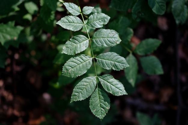 Selectieve focus shot van rozenbottel bladeren in het bos