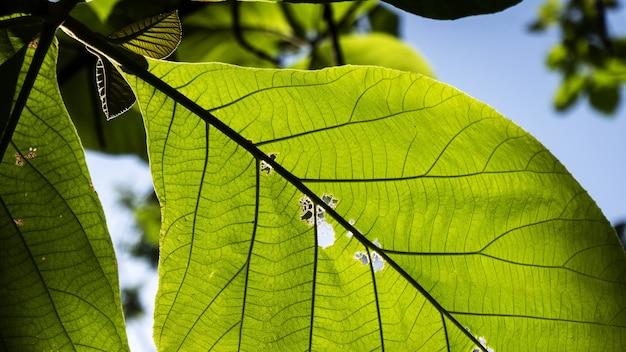Selectieve focus shot van terminalia catappa bladeren met een blauwe hemelachtergrond