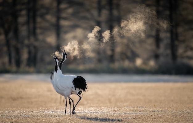 Selectieve focus shot van twee rood-bekroonde kraanvogels ademen in een koud veld in kushiro, hokkaido