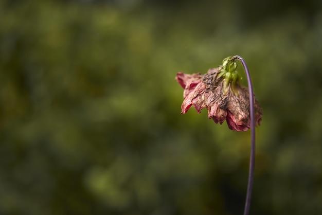 Selectieve focus shot van verwelkte bloem