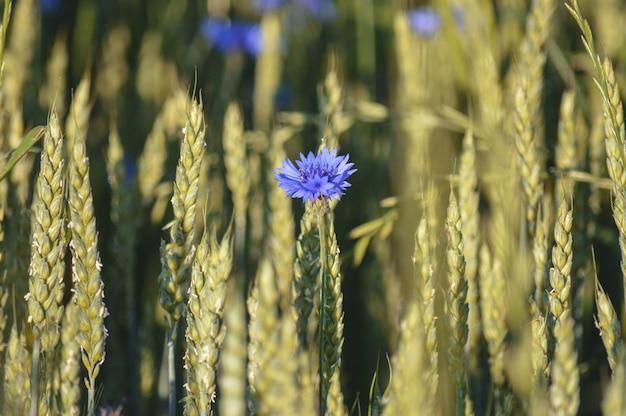 Selectieve focus van bloeiende kleine paarse bloemen in het veld