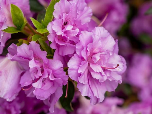 Selectieve focus van bloeiende lila bloemen in de tuin