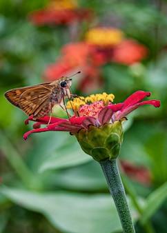 Selectieve focus van de vlinder van de golfparelmoervlinder zittend op een bloeiende bloem