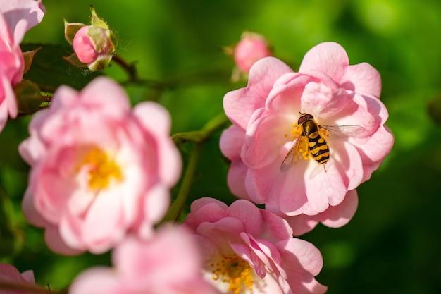 Selectieve focus van een bij die stuifmeel verzamelt van de lichtroze roos